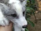 郑州宠物狐狸多少钱一只