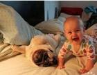 专业杜宾犬养殖 纯种德系杜宾幼犬 咖啡色杜宾犬