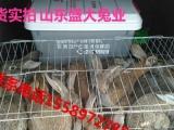 肉兔有哪些品种肉兔多少钱一只