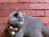 小蓝猫找粑粑麻麻