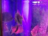热带鱼 元宝财神红鹦鹉鱼 粗线热带鱼