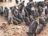 浙江富阳市哪里有养纯种藏香猪养殖基地