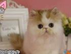 呆萌温顺加菲猫大头圆脸大眼睛疫苗驱虫已做