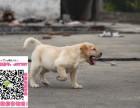 上海拉布拉多幼犬宠物狗转让 拉拉图片价格 神犬小七同款