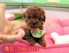 纯度第一 品质第一 价位较低~泰迪幼犬 健康质保