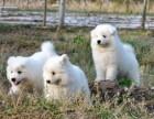 澳版熊版纯白萨摩耶 赛级品质 购买可签协议