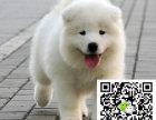 萨摩耶犬出售纯正萨摩耶多少钱哪卖萨摩耶犬