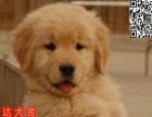 中山养殖基地售金黄色的金毛犬 黄金猎犬值得拥有