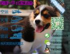 宠物店和狗市里的柯基犬可以买吗 健康的多少钱一只
