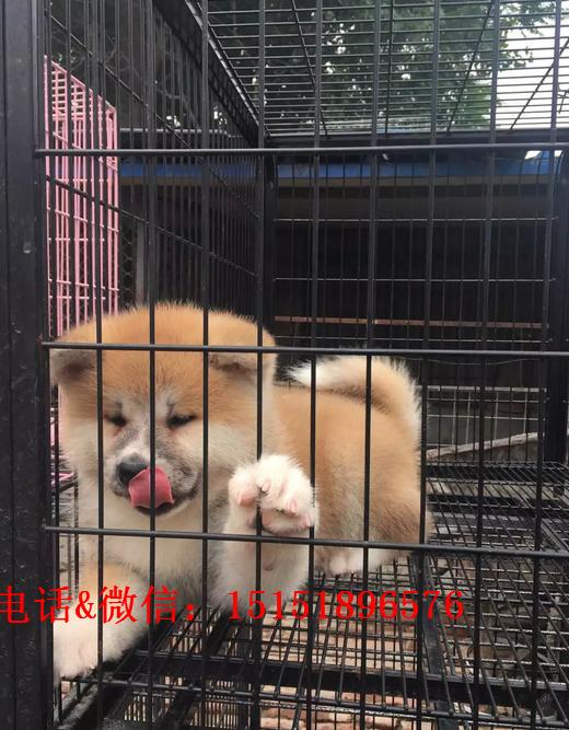 温州秋田多少钱 温州纯种秋田的价格 温州日系秋田犬怎么卖的
