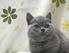 长期出售家养短毛猫蓝猫渐层金吉拉布偶等宠物猫