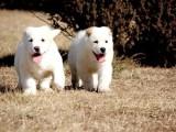 双血统中亚犬  服从度高