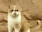 出售加菲猫幼猫活体 纯种加菲猫宠物活体加菲猫幼猫纯