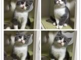 专业宠物猫咪活体繁育甜美亲人,疫苗齐全