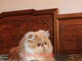 带繁育纸双血统红白加菲猫异长母