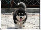 名犬繁殖基地出售三十多个品种宠物狗纯血统健康可上门