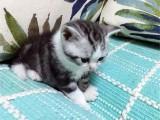 本猫舍繁育各种高端品种猫咪 价格实惠 颜值高