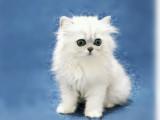 上海卢湾 金吉拉幼猫猫舍在哪