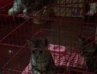 湖北地区美国短毛猫美短宠物猫