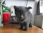 自家英短蓝猫出售