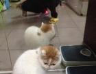 两只加菲母猫便宜转让都是自家的.非宠 店4800元