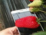 达赛草莓苗介绍 种苗品种全