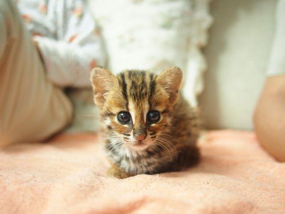 银川哪里有孟加拉豹猫卖 野性外表温柔家猫性格 时尚 漂亮
