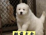 佛山哪里有卖健康的大白熊犬