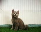 出售本地家养英短蓝猫