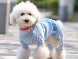 陵水奶白色拉布拉多 純種血統拉布拉多犬 身體健康