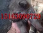 成都哪里出售狼狗,猎犬幼犬多少钱一只,怎么驯养狼青犬