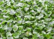 昭鑫花卉苗木出售专业的水葫芦重庆水葫芦