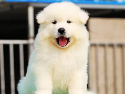 出售纯种萨摩耶幼犬出售 萨摩耶活体 微笑天使萨摩耶