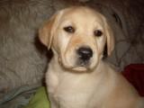 极品 拉布拉多幼犬 可看狗父母 当面检查90天包退换
