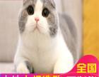 哪里有折耳猫卖纯种健康苏格兰折耳猫外面可爱活泼包健康