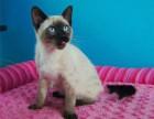 暹罗猫多少钱一只 纯种暹罗猫价格 东莞什么地方卖暹罗猫