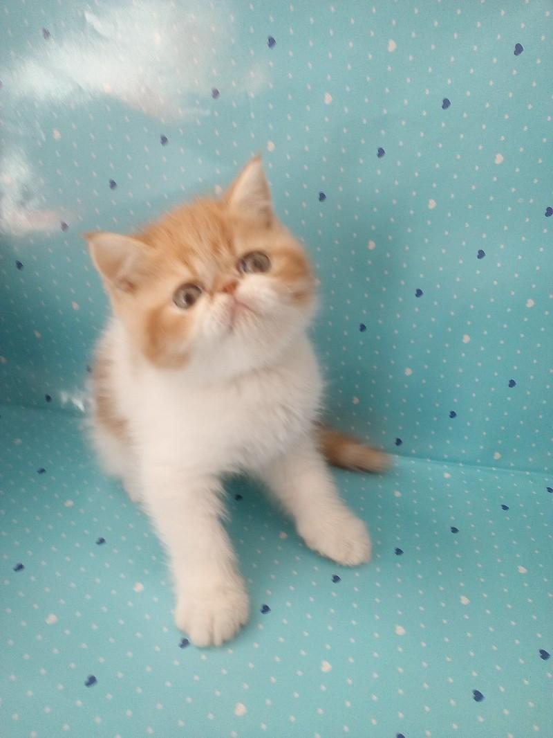 美国CFA注册猫舍