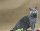 蓝猫活体 英短蓝猫 蓝猫宠物猫活体 英国短毛猫