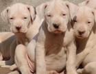 成年杜高犬价格 成年杜高犬多少钱一只 杜高犬幼犬价格