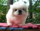青岛哪有京巴犬卖 青岛京巴犬价格 青岛京巴犬多少钱