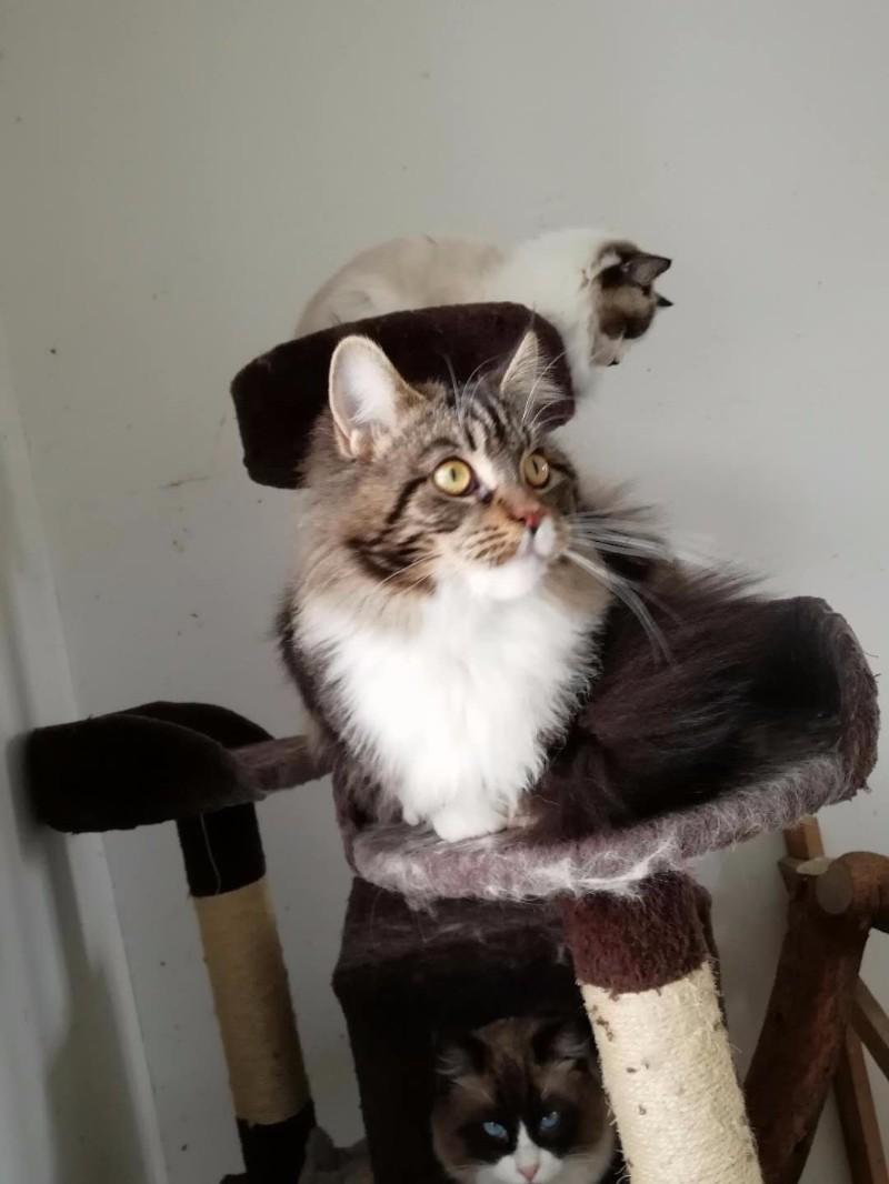 自己家养的CFA缅因猫 挪威森林猫 布偶猫出售,欢迎上门看猫
