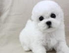 大眼睛甜美棉花糖般 比熊 幼犬 卷毛爱粘人的小妖精