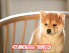 精品柴犬幼犬出售 实物拍摄 已做疫苗驱虫 可送货
