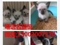 宠物猫英短长期出售美短英短金吉拉布偶猫无毛猫缅因猫