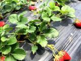台湾草莓苗电话 放心选择