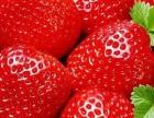 草莓熟了、开始采摘了。