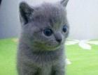出售纯种英短蓝猫1200元