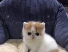 双血统加菲猫出售