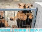 正规犬舍繁殖 纯种**梗 包细小犬瘟 签订协议