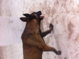 格力犬 德国牧羊犬 杜高犬